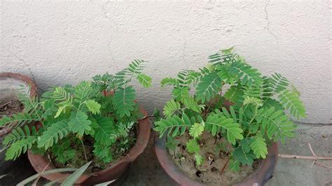 इमली  How To Grow Tamarind Plants From Seeds (hindi