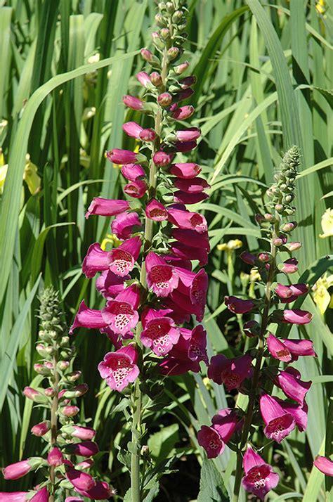 camelot rose foxglove digitalis purpurea camelot rose