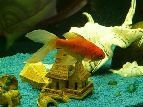 le poisson en aquaponie aquaponie