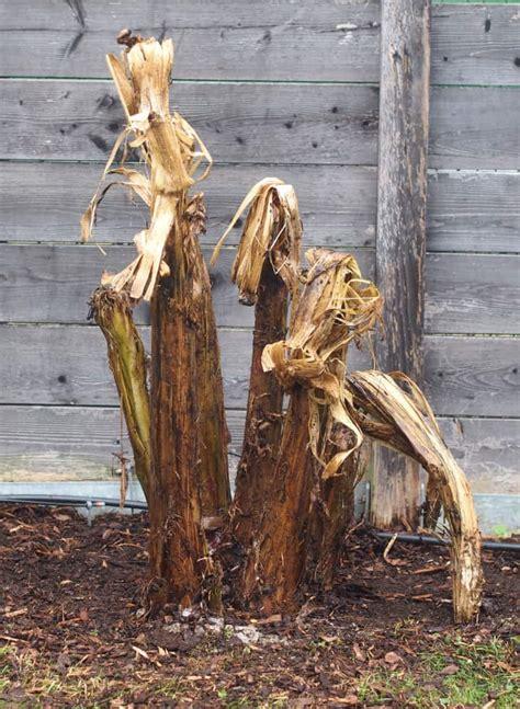 palmen niedrigere klassifizierungen chinesische hanfpalme pflege chinesische hanfpalme pflegen gie en schneiden und mehr