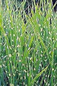 Miscanthus Sinensis Strictus : grasses miscanthus sinensis 39 strictus 39 ~ Michelbontemps.com Haus und Dekorationen