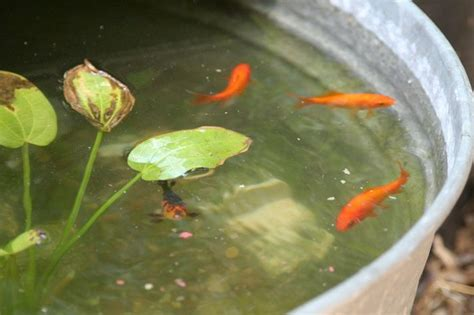 goldfish      barrel container pond  long
