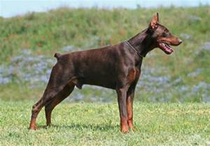 doberman pinscher5 jpg doberman pinscher dog breeds
