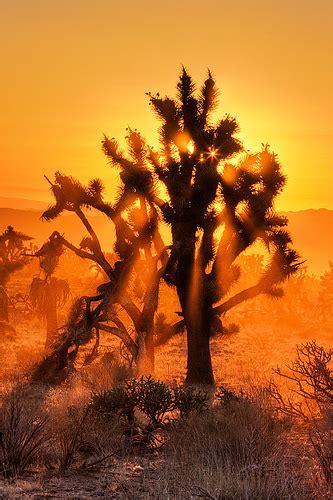Mojave Desert Joshua Tree Sunset