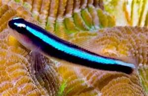 Neon Blue Goby and Kole Yellow Eye Tang patibility