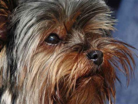 yorkshire terrier hunde wesen temperament erziehung