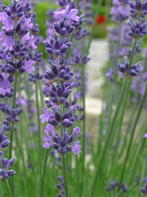 when do you plant lavender pruning lavender how to cut back lavender