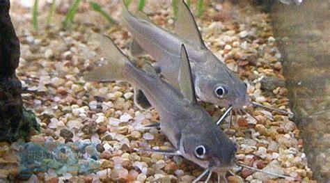 types  freshwater aquarium catfish freshwater