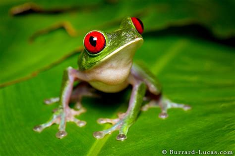 red eyed tree frog burrard lucas photography