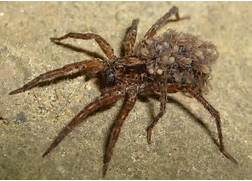 Wolf Spiders ... What you Should Know Central Illinois Pest & Termite ...