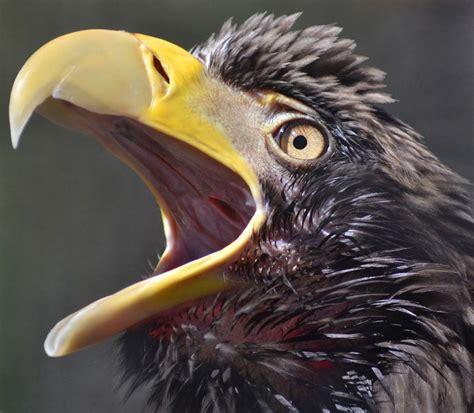 Stellers Sea Eagle Flickr Pet birds Funny birds Eagles