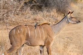 lesser kudu google search animals animal attack