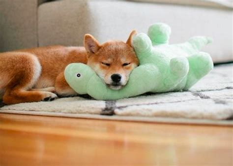 11 Things That You Have To Endure Of Your Shiba For Real