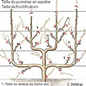 Comment Tailler Un Abricotier : comment tailler le pommier en palmette taille ~ Melissatoandfro.com Idées de Décoration