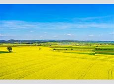 aerial view rural landscape with blooming rape at the