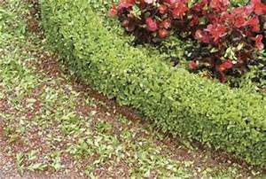 Guide to Planting Boxwood Hedges   Home Guides   SF Gate