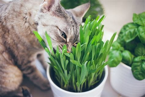 the best indoor grass for cats adventure cats