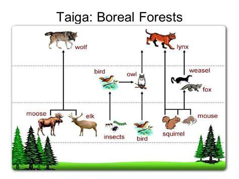 boreal cuisine northern coniferous forest food web pixshark com