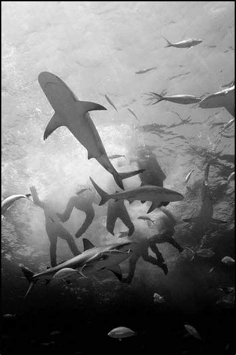 uss indianapolis sinking sharks four days on july and sharks on