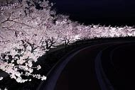 Cherry Blossom Tree at Night