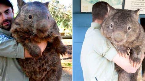 giant wombat     challenge    fight sbnationcom