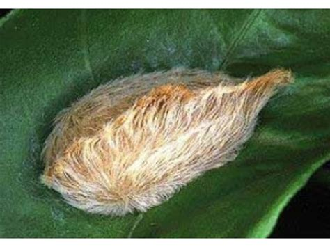 floridas puss caterpillars pack  venomous punch