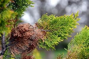 Zypresse Wird Braun : blaue scheinzypresse wird braun woran liegt 39 s ~ Lizthompson.info Haus und Dekorationen