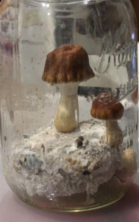 pf tek  cloning   ez mushroom cultivation