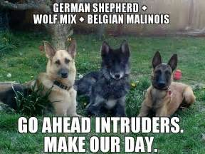 belgian malinois and german shepherd breeds picture