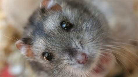 Dwarf Hamster Wallpaper Desktop Hd Wallpaper Download