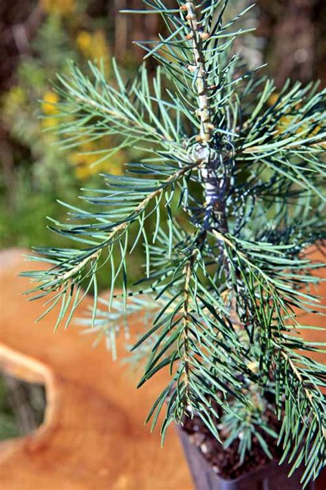 concolor smell like oranges christmas trees potted concolor fir tree