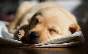 labrador pup dog - HD Desktop Wallpapers   4k HD