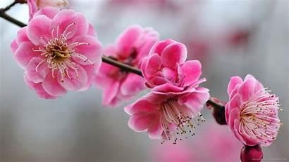 Cherry Blossom Pink Blossoms