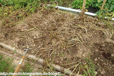 kartoffeln wann pflanzen wann kartoffeln ernten gr 228 ser im k 252 bel 252 berwintern
