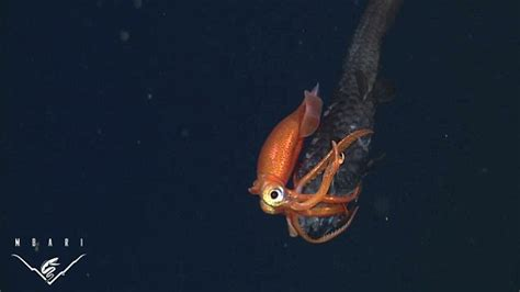 fascinating moment  squid overpowers  fish