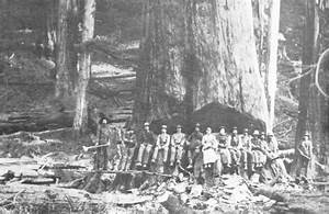Giant Redwood - the Union Lumber Company felled this one