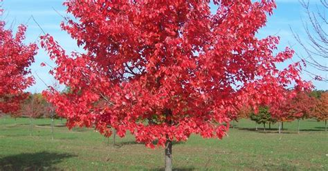 red maple northwood maine house landscaping