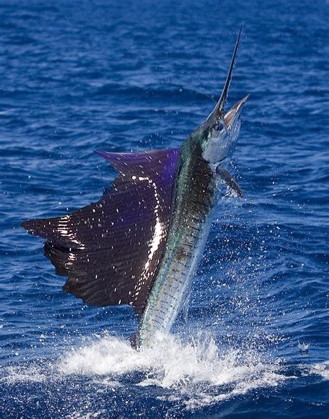 sailfish fishing marlin fish florida sea deep offshore catching mexico boat atlantic ocean swordfish underwater sportfishing tuna sport islamorada wormer