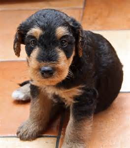 file 01 puppy airedale terrier jpg wikimedia commons