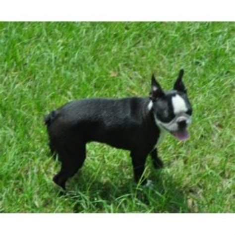 Blue Skyz Boston Terriers Boston Terrier Breeder In Live