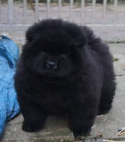Image result for black chow chow puppies