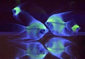 Green Fluorescent Protein Cool Uses Fluoro Fish