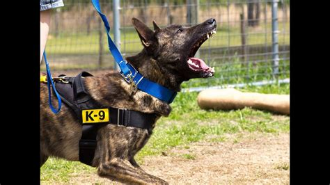 protection dog training clip dutch shepherd  belgian