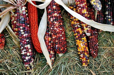 colored corn portcitydailyphoto colored corn