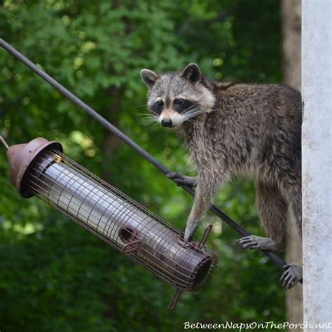 zoysia recovers from winter kill raccoons peel back sod