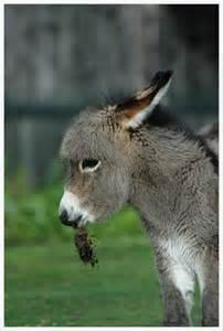 Mules Donkeys Burros