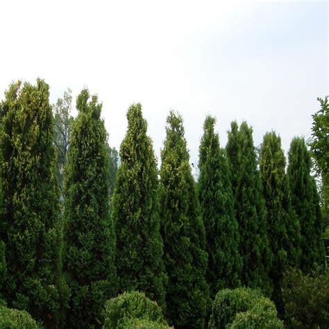 onlineplantcenter  gal  ft tall emerald green