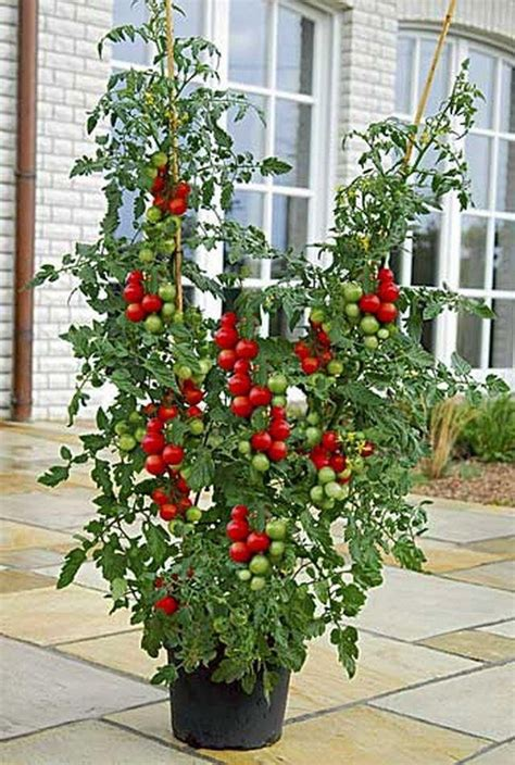 Container Grown Cherry Tomatoes  Gardening Pinterest