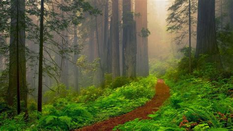Redwood National Park Forest Path Hd Wallpaper
