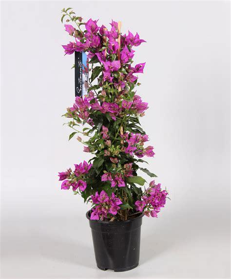 entretien bougainvillier en pot achetez maintenant une plante en pot bougainvillier violet acheter bakker